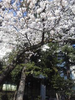 2014桜 140331_0839~02.jpg